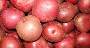 Cách chọn vào bảo quản khoai tây